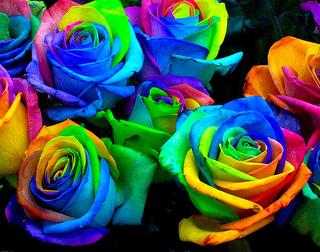 薔薇Rainbow-Roses.jpg